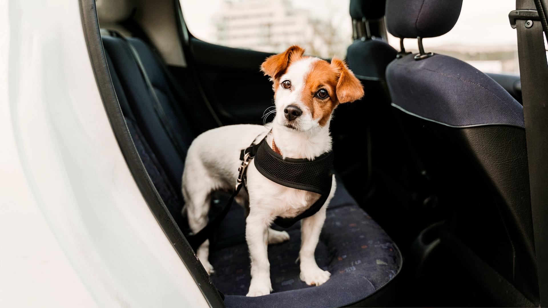 Koira auton takapenkillä