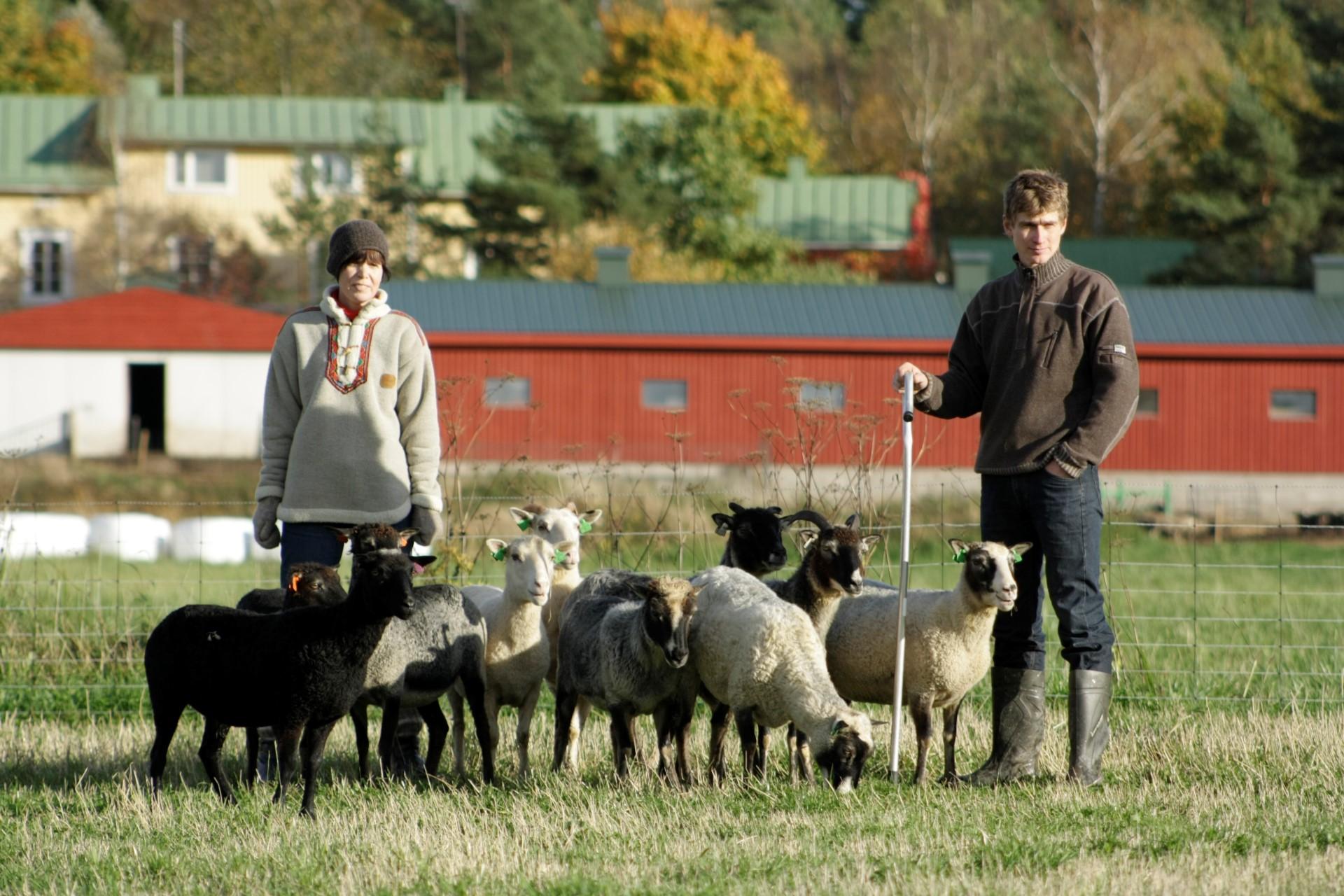 Alar ja Katja Sikka lampaiden kanssa